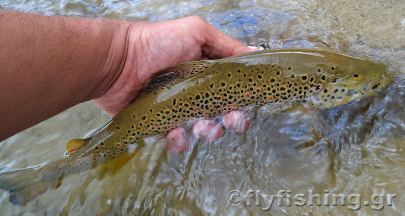 brown-trout-CR