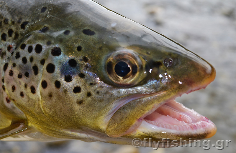 brown-trout-head